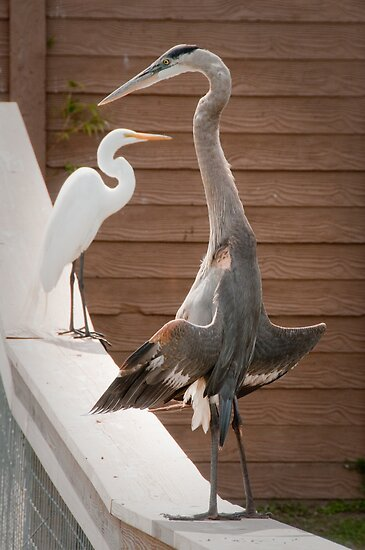 """""""Flasher"""" - a great blue heron seems to be exposing itself by John Hartung"""