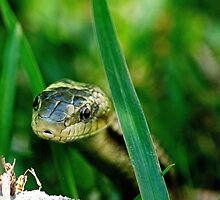 Yellow Rat Snake Approaching by Photography by TJ Baccari