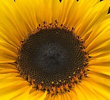 Sunflower Close Up by JHMimaging