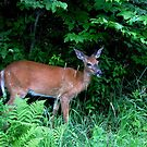 White-tailed deer(ungulate) by hummingbirds