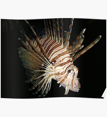 Volitans lionfish in the darkenss Poster