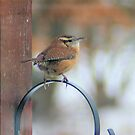 Little Wren by teresa731