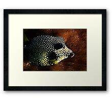 Smooth Trunkfish Framed Print