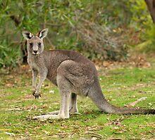 Little Kangaroo at Troopers Creek by Michael Barnett