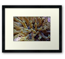 Spotted cleaner shrimp with a sea anemone. Framed Print