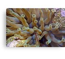 Spotted cleaner shrimp with a sea anemone. Metal Print