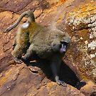 Baboon in Masai Lodge, KENYA by Atanas NASKO