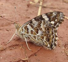 Australian Painted Lady Butterfly (Vanessa kershawi) - Horsnell Gully, South Australia by Dan & Emma Monceaux