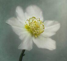 Helleborus niger by Priska Wettstein