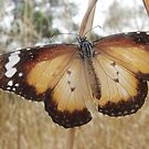 Butterflies of South Australia by Dan & Emma Monceaux
