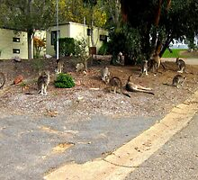 Mob of Kangaroos by Chris Chalk