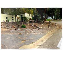 Mob of Kangaroos Poster