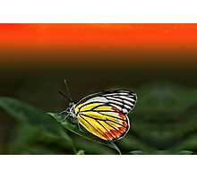 Butterfly staring at Sunset Photographic Print