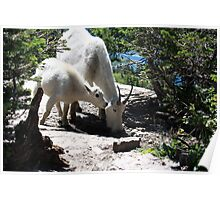 Mountain  Goat and Kid Poster
