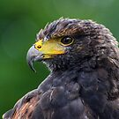 Harris Hawk by Jane-in-Colour