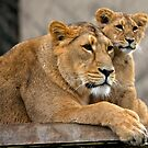Asiatic Lion cubs by Sheila Smith