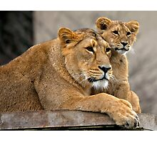 Asiatic Lion cubs Photographic Print