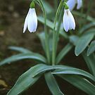 Crimean Snowdrop Closeup by taiche