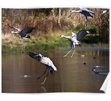 Migratory Sandhill Cranes Landing in a Marsh Pond Poster