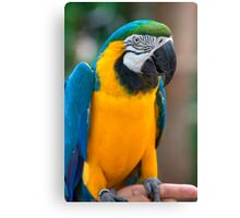 Blue and Gold Macaw, Brazil, South America Canvas Print