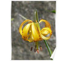 Single wild tiger lily - Mt Rainier Poster