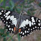 Chequered Swallowtail (Papilio demoleus sthenelus) - Coromandel Valley, South Australia by Dan & Emma Monceaux