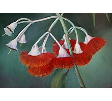 flowering gum (Silver Princess) Photographic Print