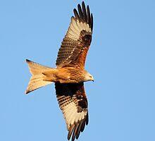 Red kite in flight by Grant Glendinning