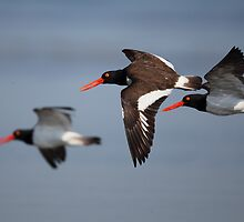 Oyster Catchers by Rob Lavoie