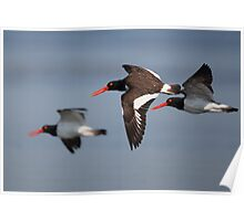 Oyster Catchers Poster