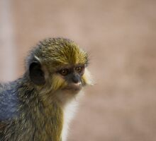 Pretty Talapoin by cute-wildlife