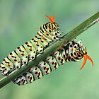 Papilio caterpillars by jimmy hoffman