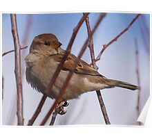 House Sparrow female Poster