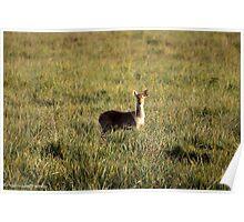 swamp deer Poster
