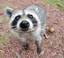 Tiny North American Raccoon by cute-wildlife