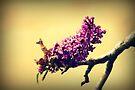 Butterfly bush by Joshua Greiner