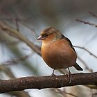 Chaffinch by Elaine123