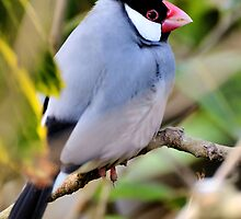 Java Sparrow by JEZ22