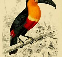 Vibrant image of a Toucan from an 1849 dictionary of natural history by gumbogirlonline