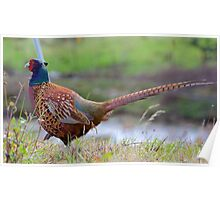Common Pheasant Poster