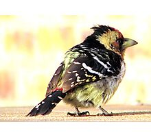 Barbet beauty Photographic Print