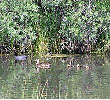 Family of Ducks Photographic Print