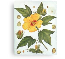 Botanical image of a Sea Island Cotton (Gossypium barbadense) flower Canvas Print