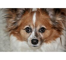 Papillion Pooch Photographic Print
