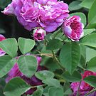 Beautiful Country Roses - Antique Rose Bush from Cades Cove by JeffeeArt4u