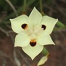 African Iris, Dietes bicolor by Michael John