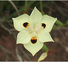 African Iris, Dietes bicolor Photographic Print