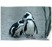 Furry African Blackfoot Penguin Poster