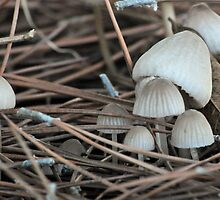 Purple-gray Mycena, Weedy Field California by Lenny La Rue, IPA