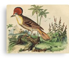 Stylishly feathered bird from an 1837 natural history print: Moucherolle couronné, or Pacific Royal Flycatcher Canvas Print
